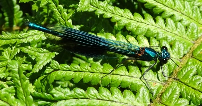 Banded Demoiselle (Calopteryx splendens) by Mike Stillman