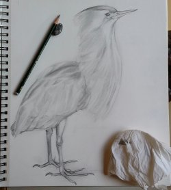 Bittern, sketched in the Museum by Amanda Beck (@ARTinOXFORD)