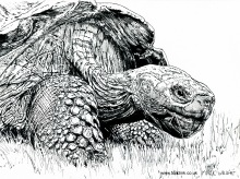 Giant Tortoise by Mark Wright (@ToadInk)