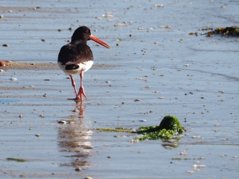 Oystercatcher by Joe Woodman