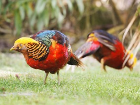 Golden Pheasants by Joe Woodman